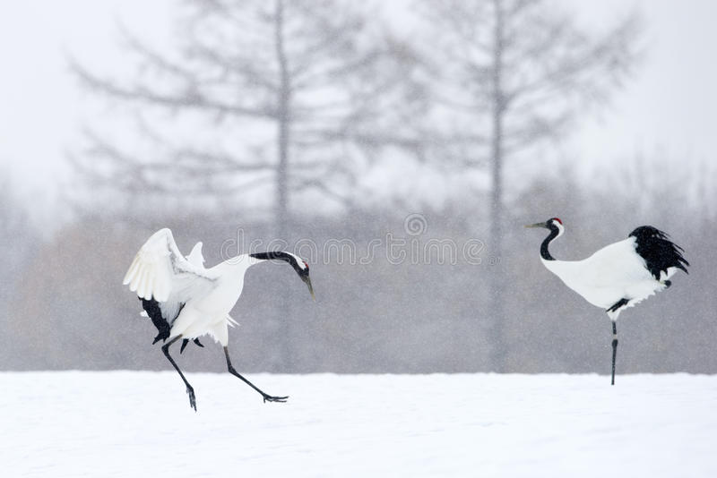 Red crowned Crane stock photography