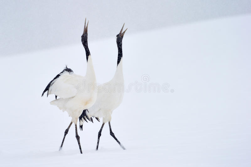 Red crowned Crane. Two Red-crowned Cranes in courtship dancing royalty free stock image