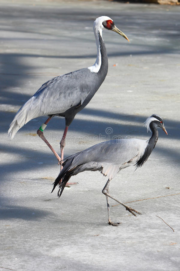 Download Red-crowned Crane Family Royalty Free Stock Image - Image: 23571486