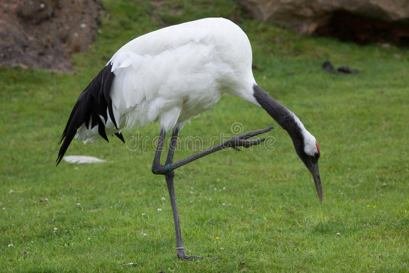 Red-crowned crane Grus japonensis. Also known as the Japanese crane or Manchurian crane stock photography