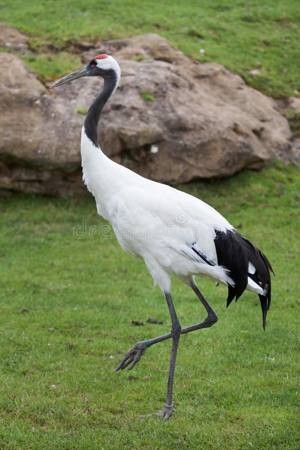 Red-crowned crane Grus japonensis. Also known as the Japanese crane or Manchurian crane stock photos