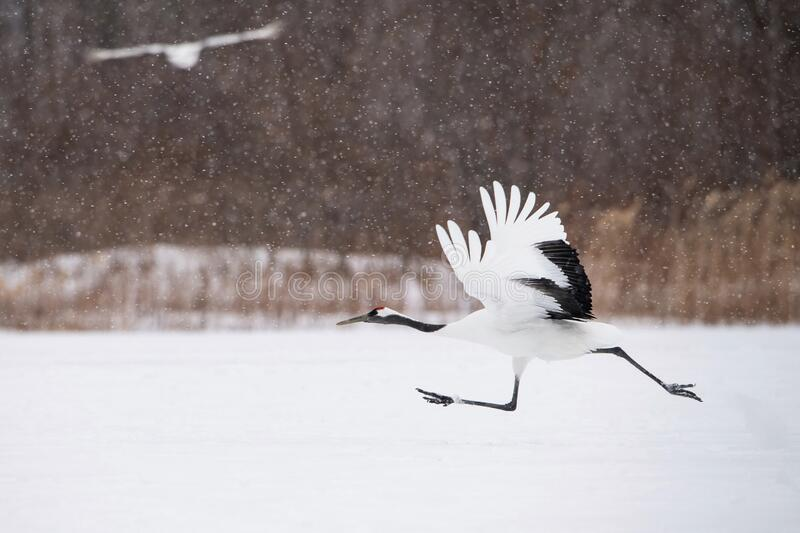 The Red-crowned crane, Grus japonensis royalty free stock images