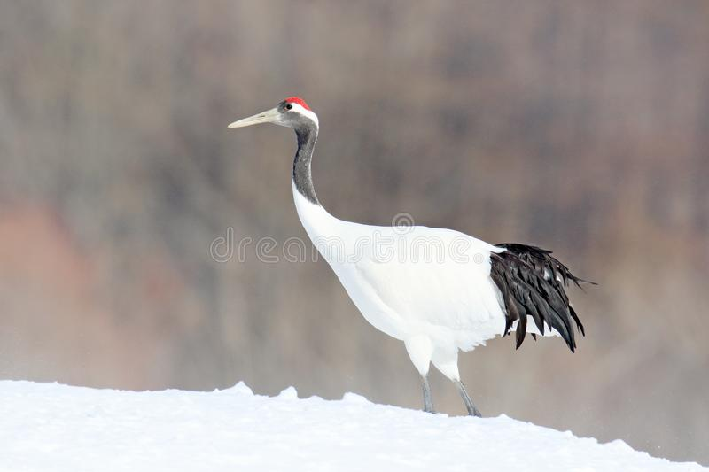 Red-crowned crane, Grus japonensis, walking in the snow, China. Beautiful bird in the nature habitat. Wildlife scene from nature. Crane with snow in the cold stock photo