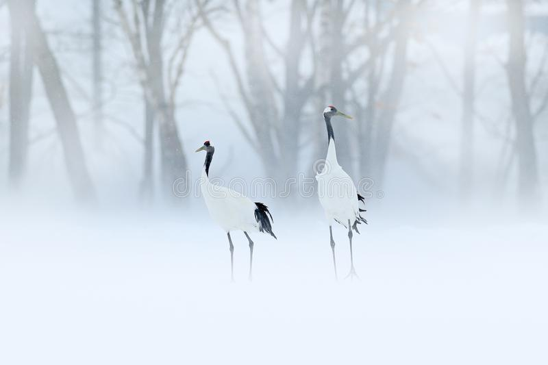 Red-crowned crane, Grus japonensis, walking in the snow, Hokkaido, Japan. Beautiful bird in the nature habitat. Wildlife scene fro. M nature. Crane with snow in royalty free stock image