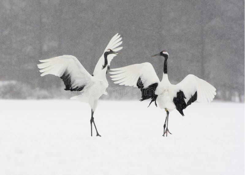 Red-crowned crane or japanese crane, Grus japonensis. Displaying, Hokkaido, Japan, winter stock photos