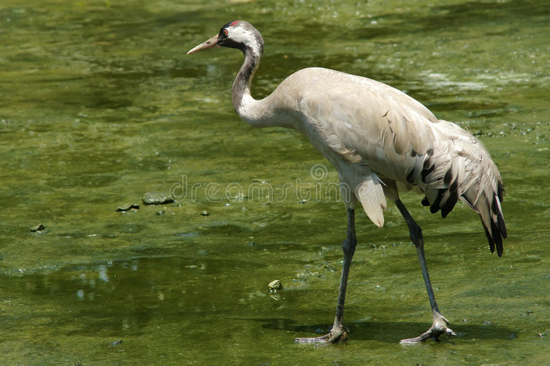 Red-crowned Crane juvenile. The close-up of Red-crowned Crane juvenile. Scientific name: Grus japonensis stock image