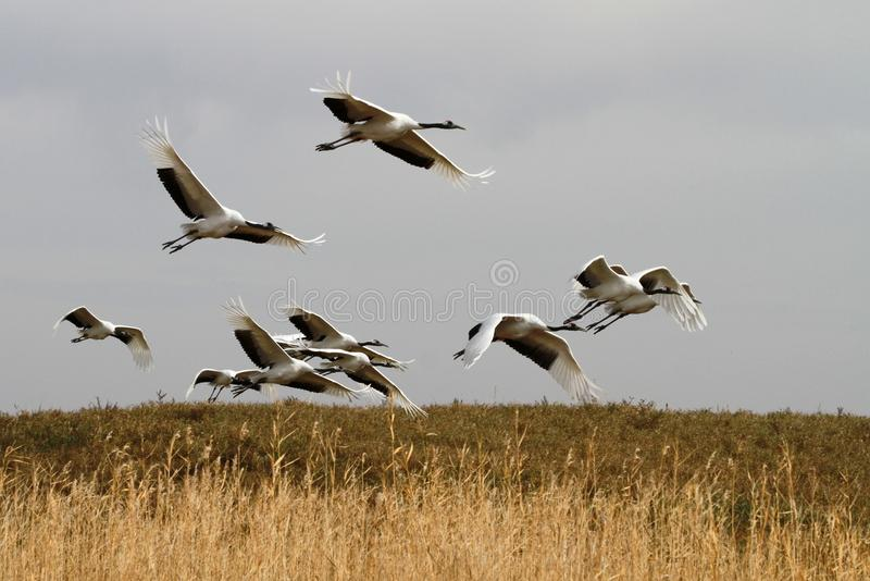 Red-crowned crane to take off stock photos