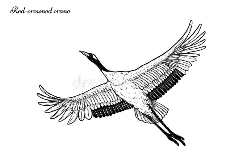 Red-crowned crane vector flying by hand drawing. vector illustration