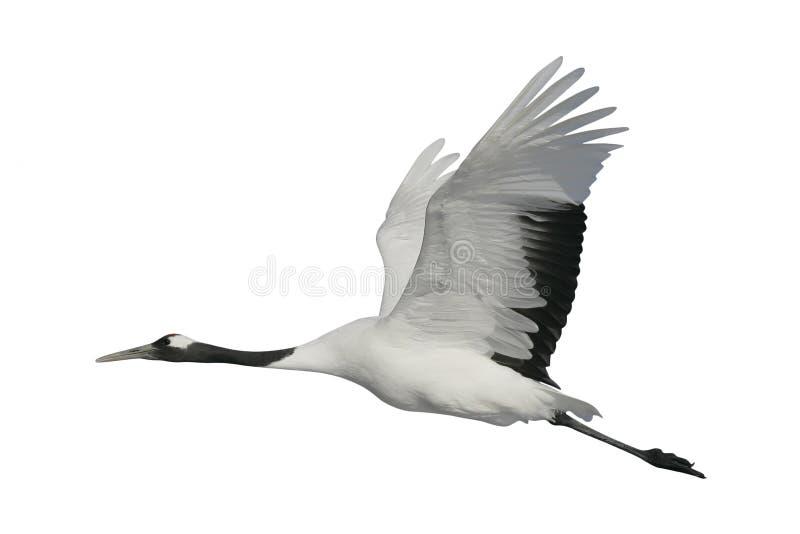 Red-crowned or Japanese crane, Grus japonensis,. Red-crowned crane, Japanese crane, Grus japonensis, single bird in flight, Japan stock images