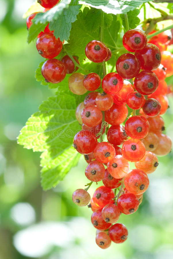 Free Red Currant Stock Photo - 14826530