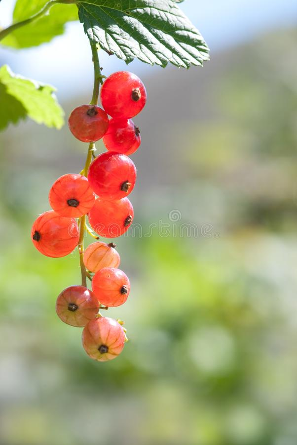 Download Red currant stock image. Image of eating, juicy, nobody - 14924995