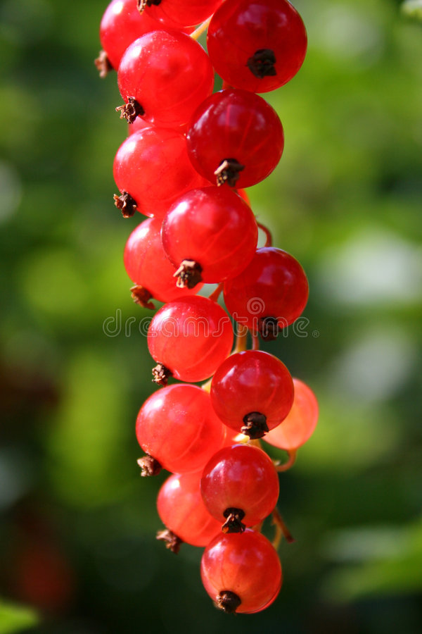Download Red currant stock image. Image of plant, currant, fruit - 178865