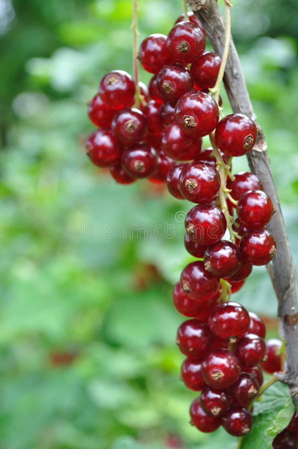 Download Red currant stock photo. Image of agriculture, leaf, antioxidant - 25455902