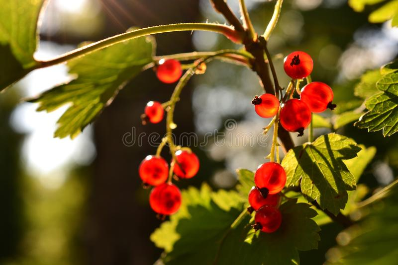 Red currant berries bunch on a bush in the summer sunlight stock image