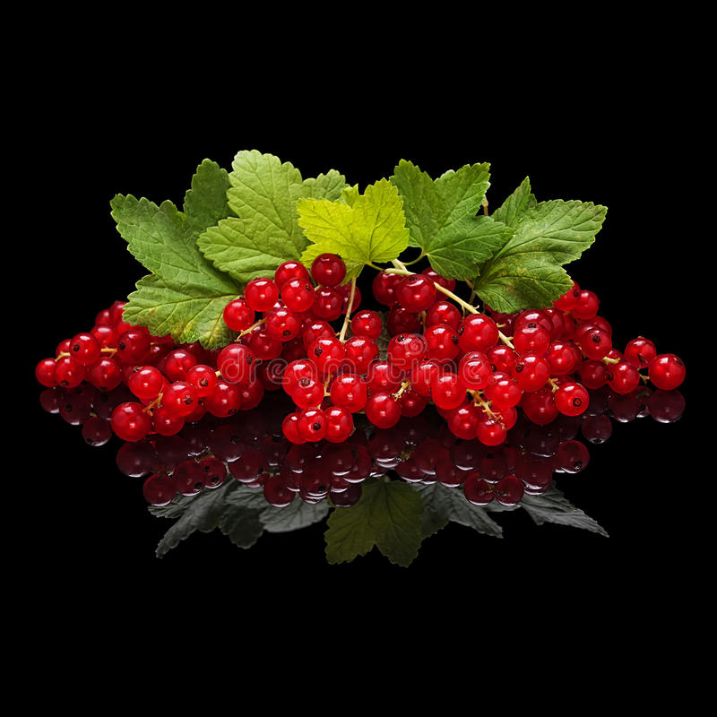 Red currant berries isolated on black. Red currant berries with leaves isolated on black glossy background with real reflection stock image