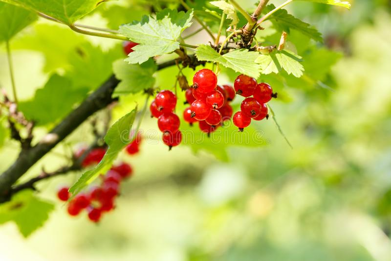 Red currant berries on a shrub in the garden. Redcurrant on a branch close-up.  royalty free stock photos