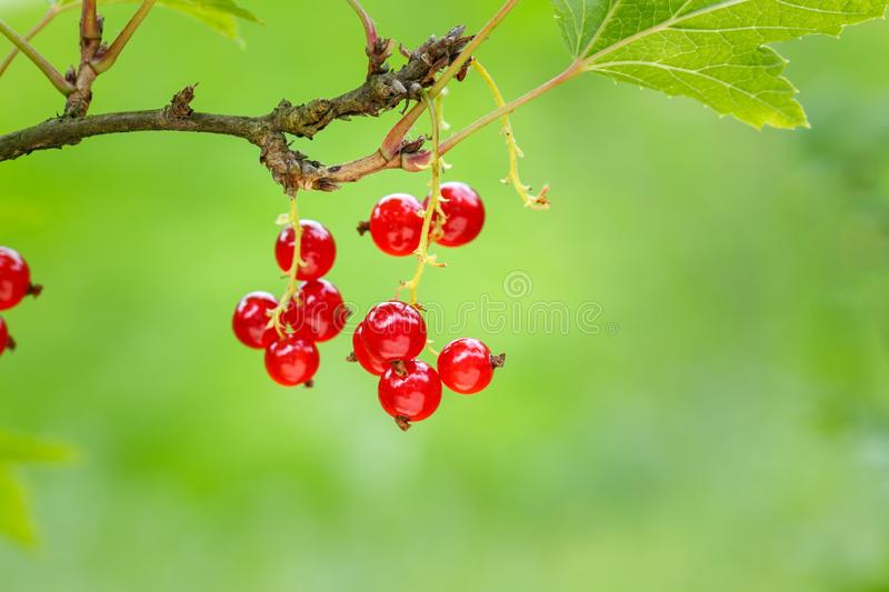 Red currant berries on a shrub in the garden. Redcurrant on a branch close-up.  stock photo