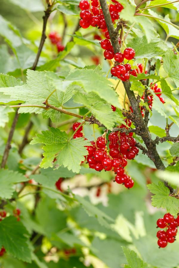 Red currant berries on a shrub in the garden. Redcurrant on a branch close-up.  royalty free stock photography