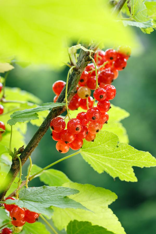 Red currant berries on a shrub in the garden. Redcurrant on a branch close-up.  royalty free stock photo