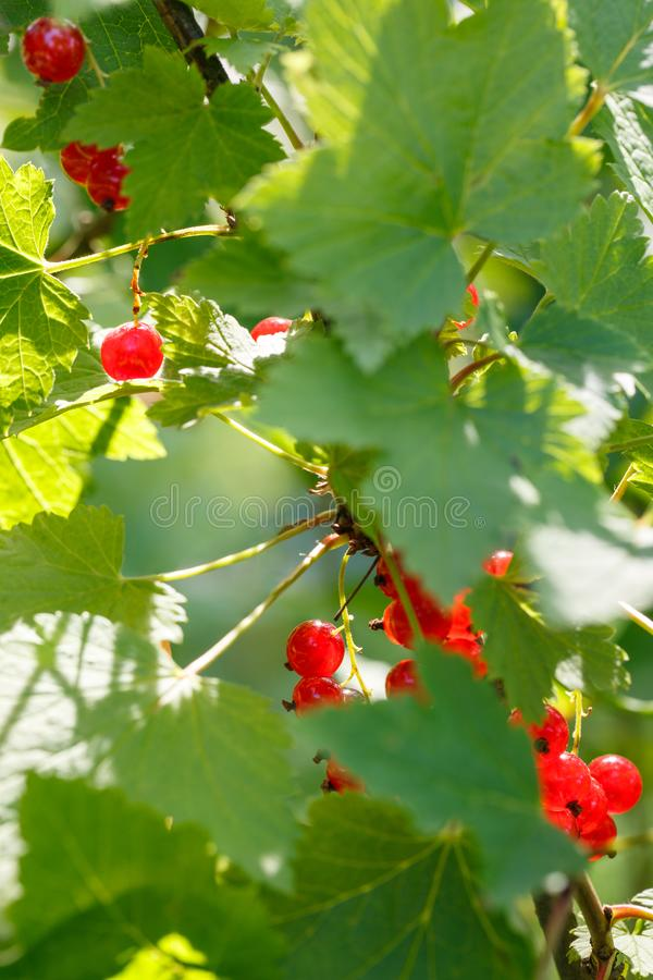Red currant berries on a shrub in the garden. Redcurrant on a branch close-up.  stock image