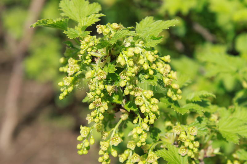 Red currant in bloom stock images