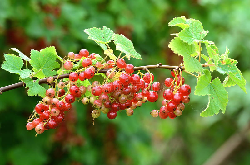 Download Red currant bush stock photo. Image of plant, sweet, plants - 25547970