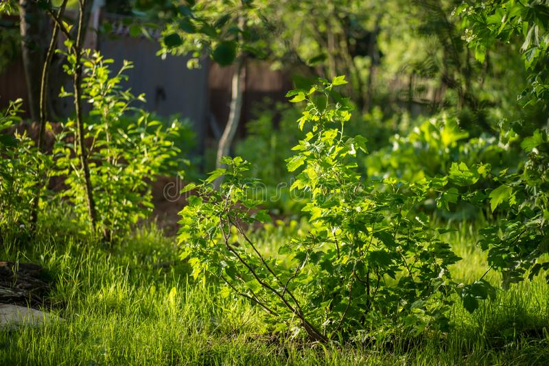 Red currant bush with in early spring on the background of magic garden full of green grass under bright sun stock photos