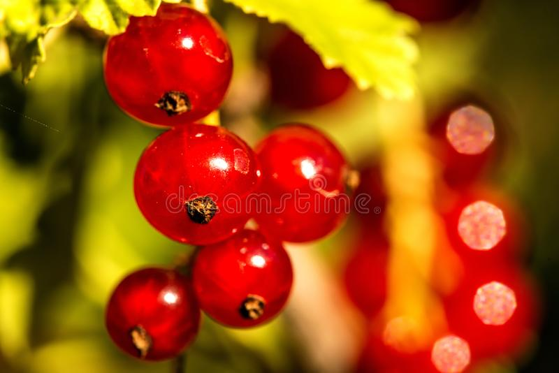 Red currant, closeup of the ripe berries stock photo