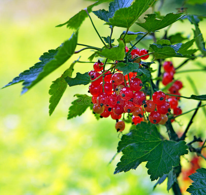Red currant. Red currant cluster in garden against sunny background stock image