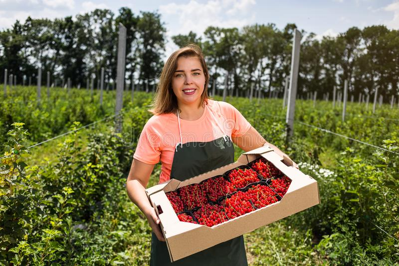 Red currant growers engineer working in garden with harvest, wo royalty free stock image