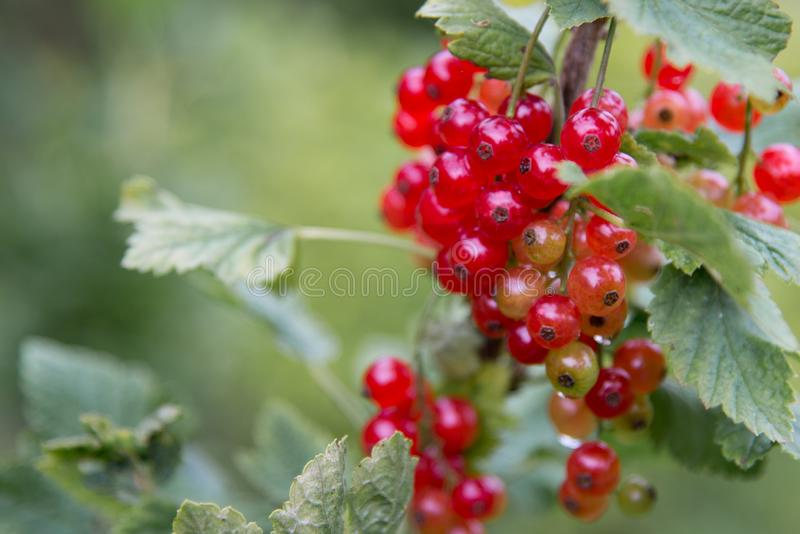 Red Currant hanging on a bush in the fruit garden. royalty free stock photo