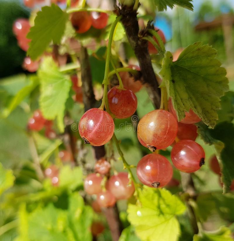 Red currant, Ribes rubrum, closeup view. A branch with a lot of redcurrant. Red currant branch with a lot of berries. Closeup of redcurrant berries royalty free stock photos