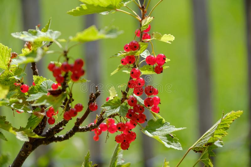 Red currant ripe berries on the bush. In the garden royalty free stock images