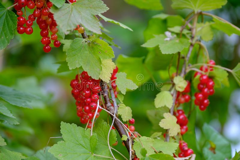 Red currant ripe berries on the bush. In the garden royalty free stock photo
