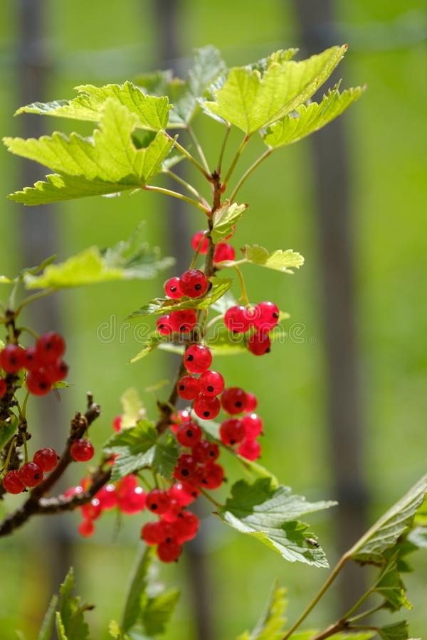 Red currant ripe berries on the bush. In the garden royalty free stock photography