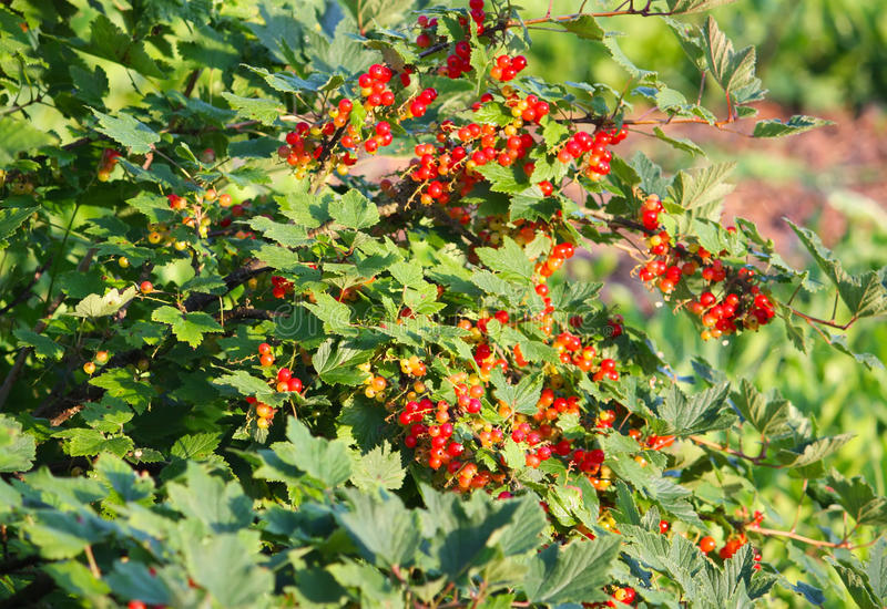 Red currant. A shot of red currant bush at summer stock photo
