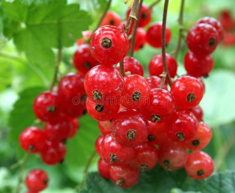 Red-currant. Some red-currant in a garden royalty free stock photo