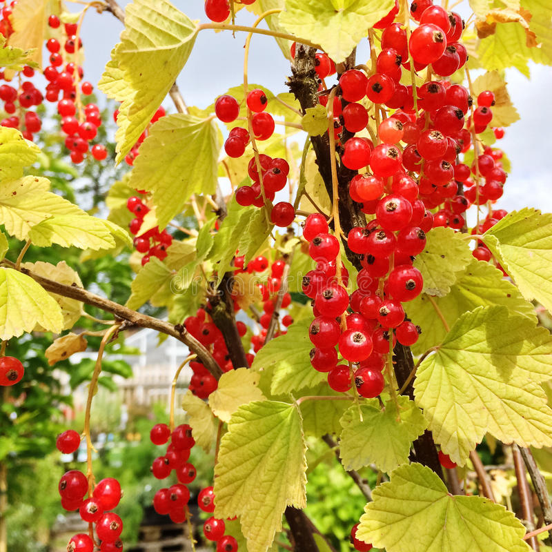 Red currant in the summer garden royalty free stock photo