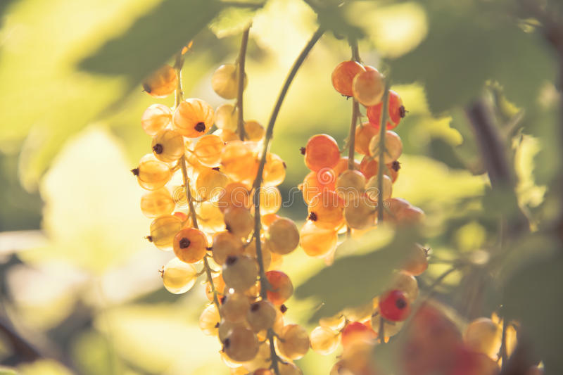 Red currant. Unripe fruits of the Red currant (Ribes rubrum royalty free stock images