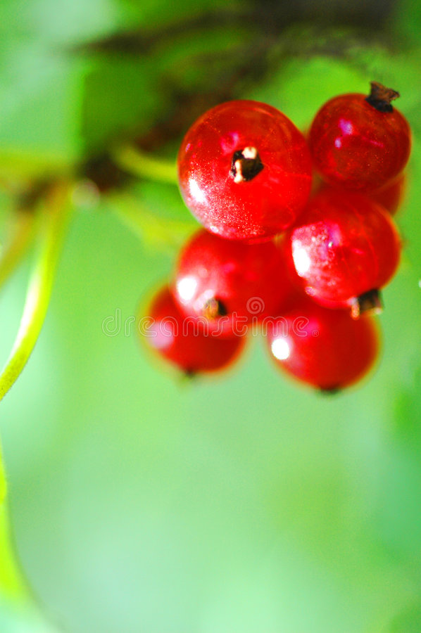 Download Red currants stock image. Image of nature, sweet, summer - 1051921