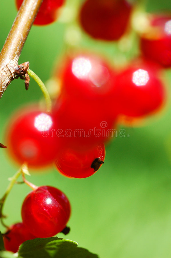 Download Red Currants Royalty Free Stock Photos - Image: 1051958