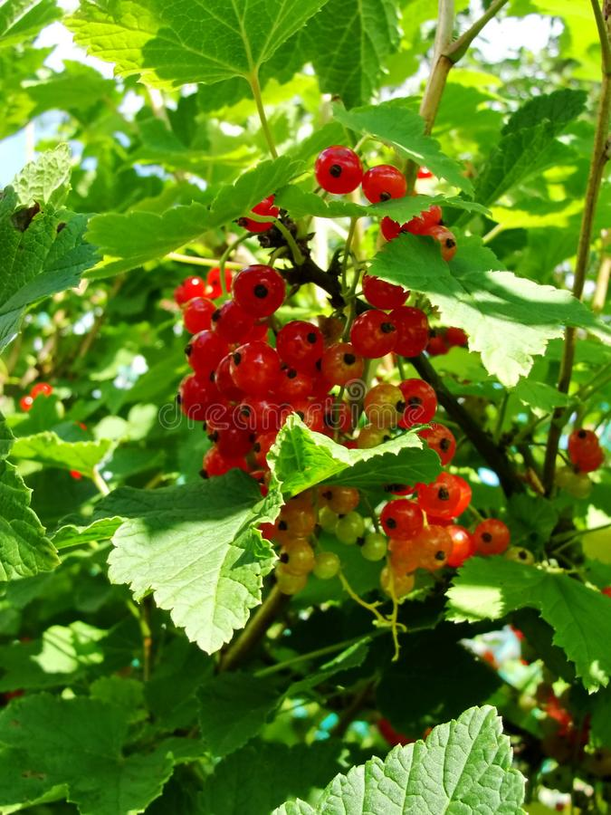 Summer bush with mature berries of a red currant. Fresh redcurrant fruit in the garden. royalty free stock image