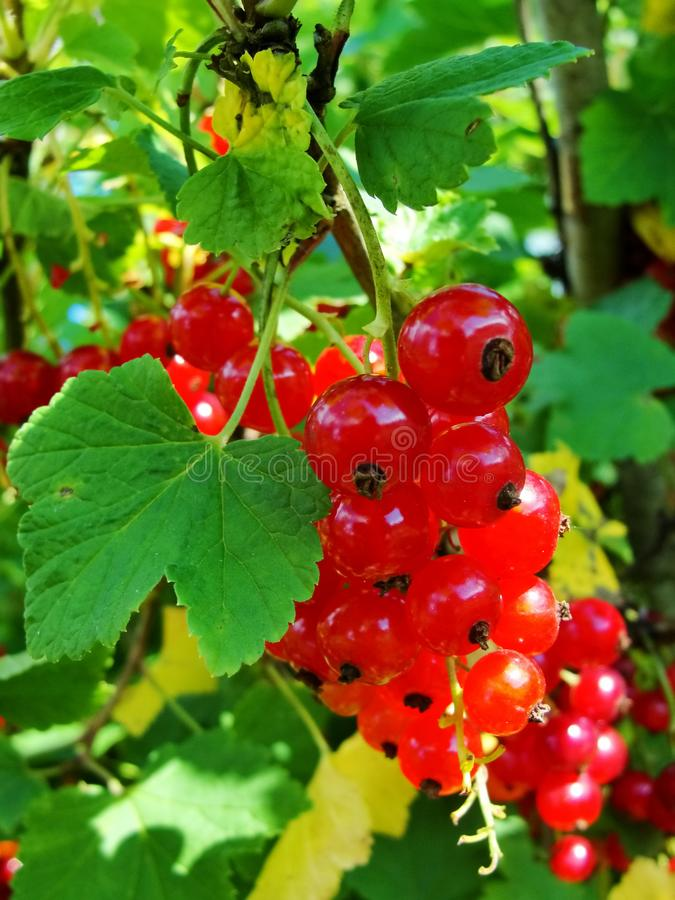 Summer bush with mature berries of a red currant. Fresh redcurrant fruit in the garden. stock images