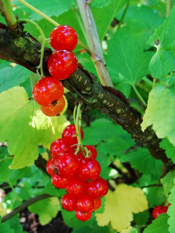 Summer bush with mature berries of a red currant. Fresh redcurrant fruit in the garden. stock photos