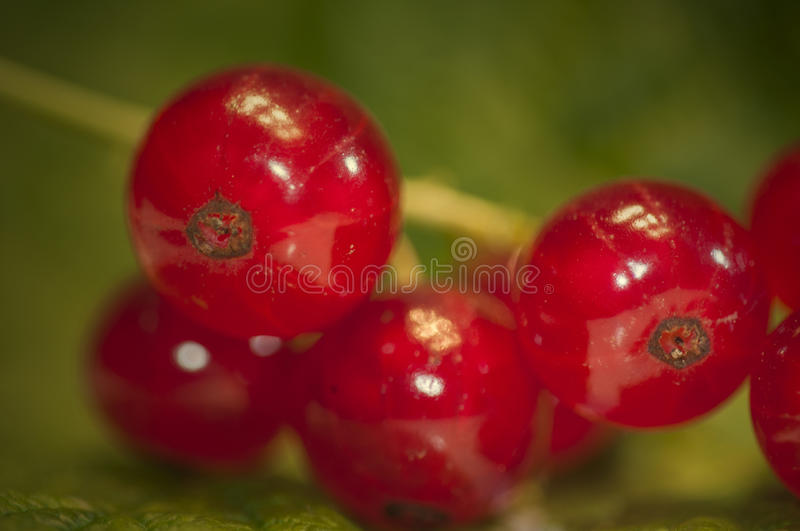 Red currants - gooseberry stock photography