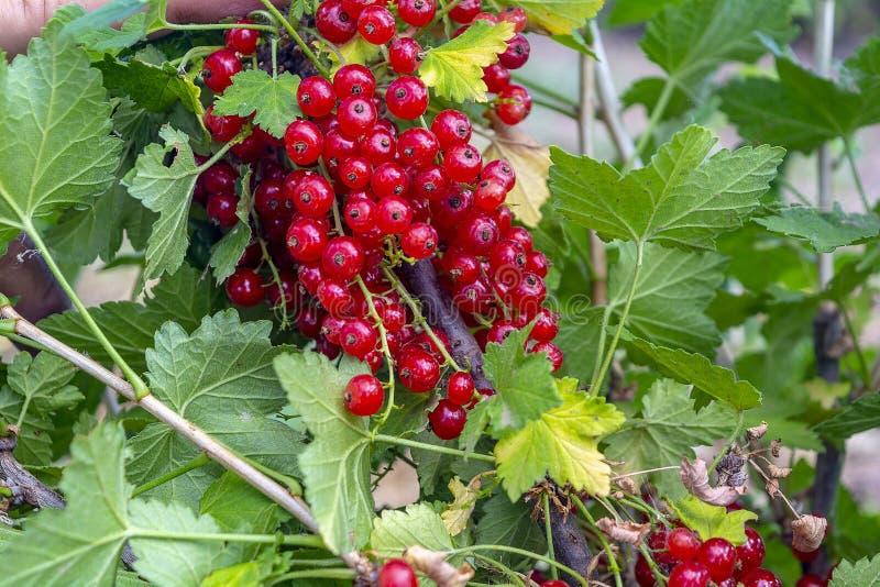 Red currants in the summer garden. Garden background royalty free stock photos