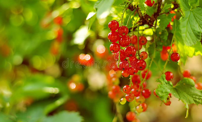 Red current. A bush of red current royalty free stock photo