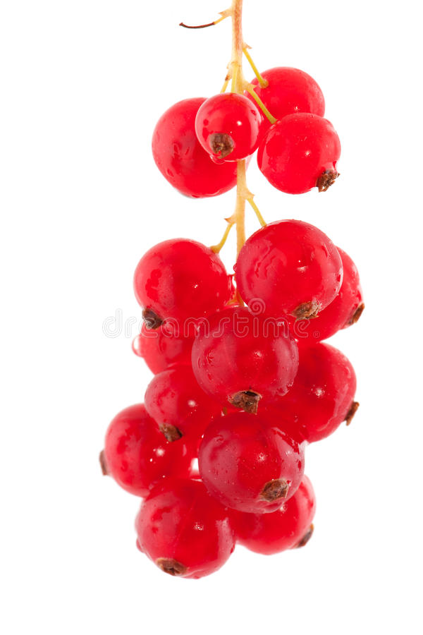 Red currents. Hanging red currents in studio setting isolated over white royalty free stock photo