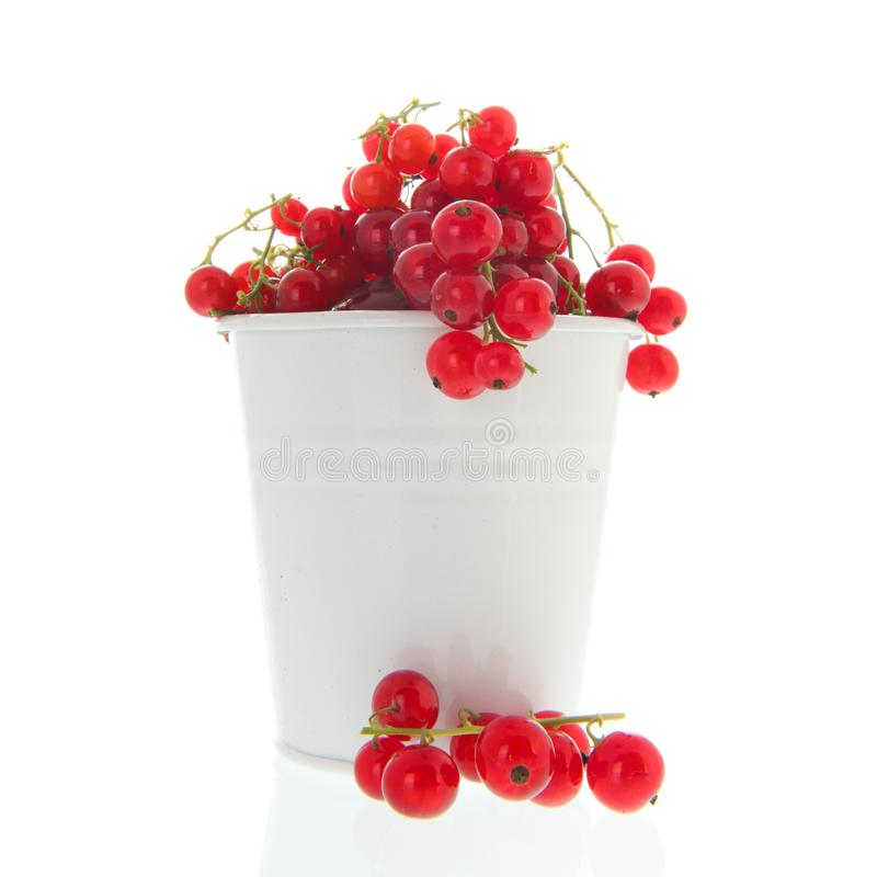Red currents in white bucket. Fresh red currents harvest in white bucket isolated in studio royalty free stock photos