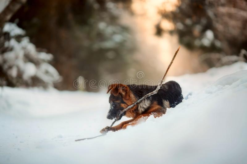 Red german shepard puppy winter portrait. Red cute german shepard 4-th months puppy portrait at snow at the winter royalty free stock photo